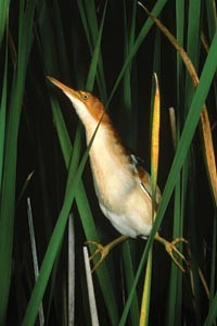 "Rarity getting rarer: William Burt's ""Least Bittern, Old Lyme, Connecticut"""