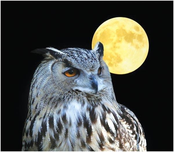 sl_owl_50.jpg