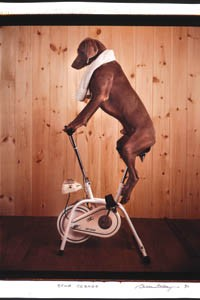 """Tail-spin: """"Stud 2000,"""" by William Wegman. - It's a Dog's Life continues through Nov. 4. Silver Eye Center for the Photography, 1015 E. Carson St., South Side. 412-431-1810"""