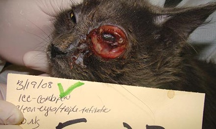 These photos, released to City Paper by the Pennsylvania Society for the Prevention of Cruelty to Animals, highlight the illnesses and injuries suffered by cats at the Tiger Ranch cat sanctuary.