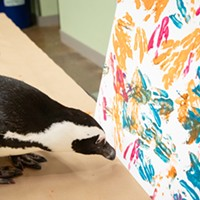 The National Aviary's Disco the penguin, this week's cover artist