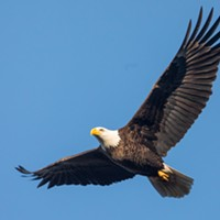 Pennsylvania has an abundance of bald eagles, and it needs help counting them