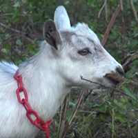 Steel City Grazers goats graze at the Carrie Furnace