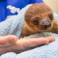 Pittsburgh's National Aviary gets baby sloth