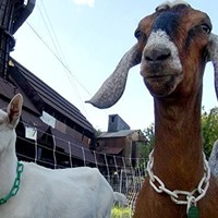 Pittsburgh City Council votes to use goats for park vegetation maintenance