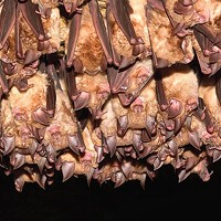 Some bats show resistance to deadly white-nose syndrome