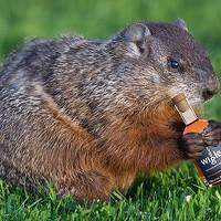 Punxsutawney Phil comes to visit Threadbare Cider House on Saturday