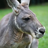Is the kangaroo a national icon, pest or commodity?