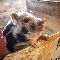 Squeeeeeeee!: One of the pigs at Angel Eyes Farm