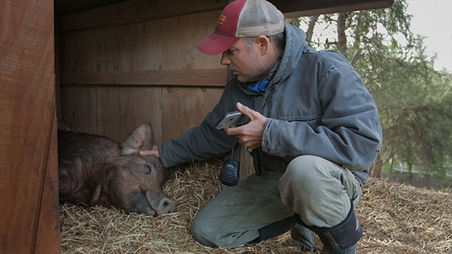 Director/farm owner John Chester and his pig, Emma. - NEON