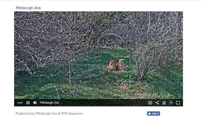 Screenshot from cheetah cam at Pittsburgh Zoo & PPG Aquarium