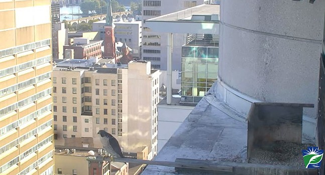 Screenshot from falcon cam in Harrisburg