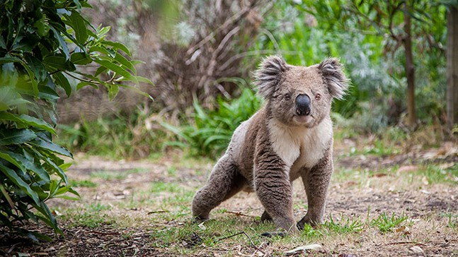 koala-bear-australia-fundraiser.jpg