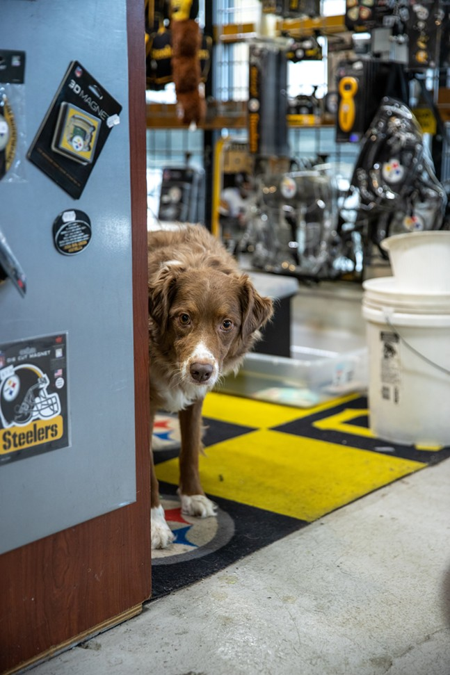 Ollie, an Australian Shepherd at one of the Yinzers outlets, peers around the corner of the cashier's desk. - CP PHOTO: KAYCEE ORWIG
