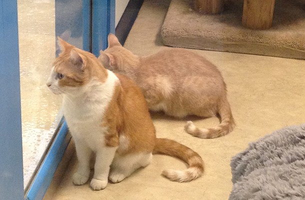 Cats waiting to be adopted last year at the Western Pennsylvania Humane Society - CP FILE PHOTO BY LISA CUNNINGHAM