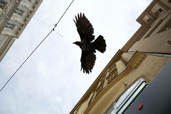 werid-pittsburgh-crow.jpg