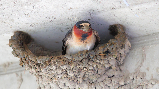 A cliff swallow in its nest