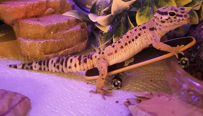 Malvo the leopard gecko - PHOTO: COURTESY OF LAUREN GIRVIN