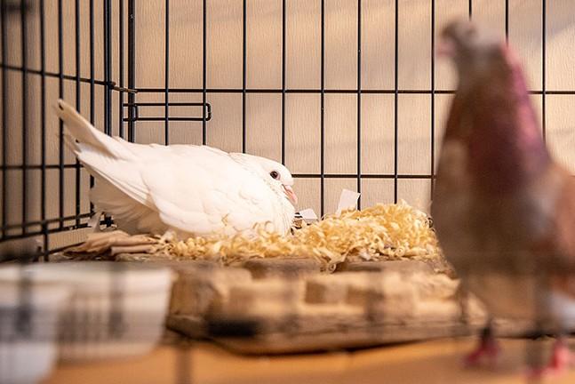 Garrett's pet pigeons, Lady and Cooper - CP PHOTO: KAYCEE ORWIG