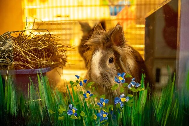 Adoptable bunnies sit in their habitats at Animal Friends. - CP PHOTO: KAYCEE ORWIG