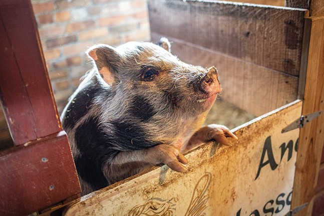 Squeeeeeeee!: One of the pigs at Angel Eyes Farm - CP PHOTO BY JOHN ALTDORFER