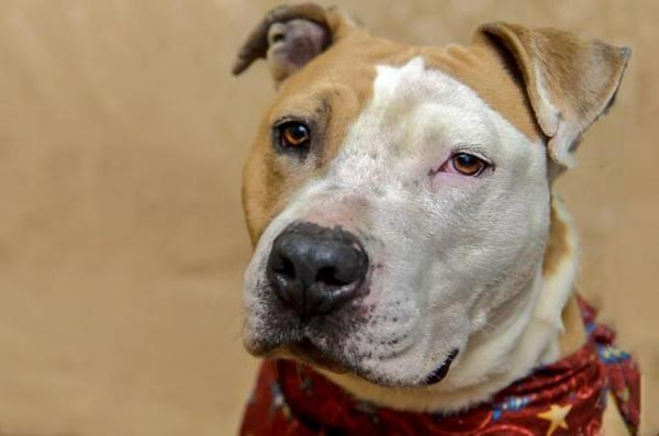 Shorty is a happy-go-lucky Pit mix, estimated to be about 8 years old, and currently up for adoption at Animal Rescue League. He enjoys walks, treats and cuddling!