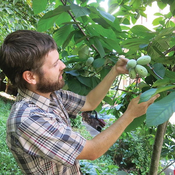 Andy Moore inspects a pawpaw tree in a yard on the South Side Slopes. - PHOTO BY BILL O'DRISCOLL