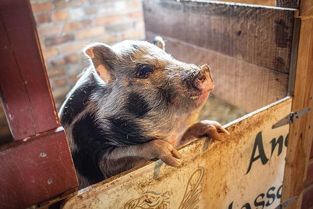 Squeeeeeeee!: One of the pigs at Angel Eyes Farm - CP PHOTO BY JOHN ALTDORFER