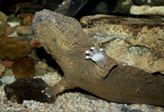 What is a hellbender, Pennsylvania's new official state amphibian?