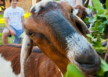 Grass-powered mowers: The goats of Steel City Grazers practice environmentally friendly lawn care
