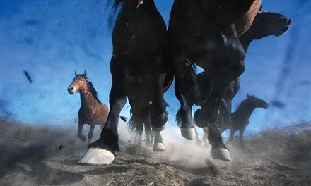 "Wild horses: Melissa Farlow's ""Thundering Mustangs"" (2007), taken near Winnemucca, Nev., and published in National Geographic in February 2009"