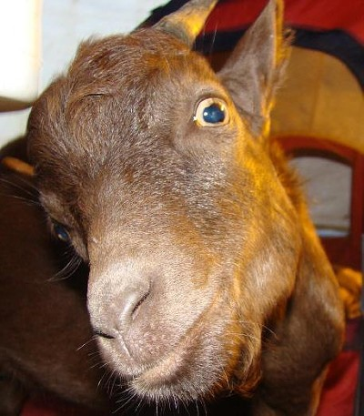 Doped Up Goat