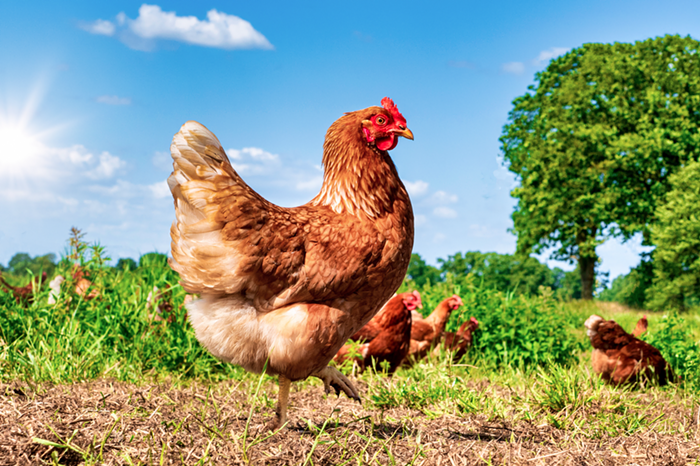 CDC to Portlanders: Stop your chicken snuggling.