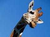 giraffe_face3_bootscr_800x600_jpg-magnum.jpg