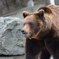 'Large Bear' Roaming Ballwin Has West County Suburb on High Alert