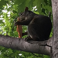 Video of Squirrel Eating Imo's Pizza in Forest Park Is Peak St. Louis