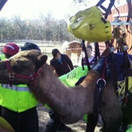 Camel Caper: When animals get stuck, people call MERS