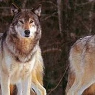 Area Wolves Seek Transportation for the Holidays
