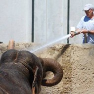 """Zookeeper Crushed To Death By Elephant Named """"Patience"""" At Dickerson Park Zoo"""