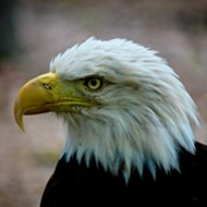 Eagle Days Is Coming and the Scent of Freedom Is in the Air