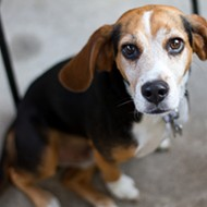 Professor Condemns Mizzou Study That Left Six Beagles Dead