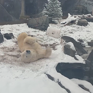 Zoo Polar Bear Thinks This Snowy St. Louis Weather Is Pretty Chill, Actually