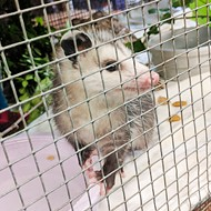 Humane Society Investigating Opossum 'Impaled' on Stop Sign