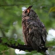 St. Louis' Owl Man Knows the Wild Nightlife