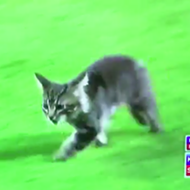 The Cardinals' Rally Cat Is the Best Thing to Happen at Busch Stadium in 2017