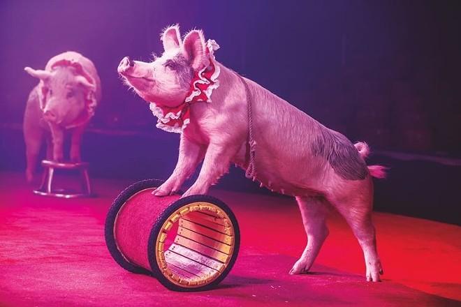 Performing piggy. - COURTESY OF CIRCUS FLORA