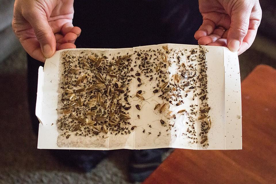 The Alkrads show off a single day's roach collection. - SARA BANNOURA