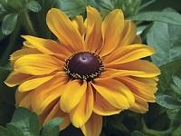 Rudbeckia hirta a.k.a. Tiger Eye Gold - SPEEDLING.COM