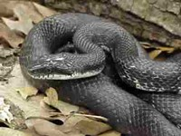 The black snake eats rats and mice and hunts for them wherever it can find 'em. Jeff City provides good eatin' this time of year.