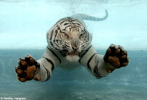 HTTP://I.TREEHUGGER.COM/IMAGES/2007/10/24/WHITE-TIGER-SWIMMING.JPG
